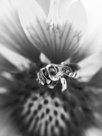 Black and white if a bee collecting pollen.