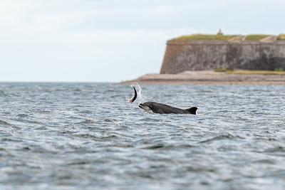 Bottlenose Dolphin, Moray Firth