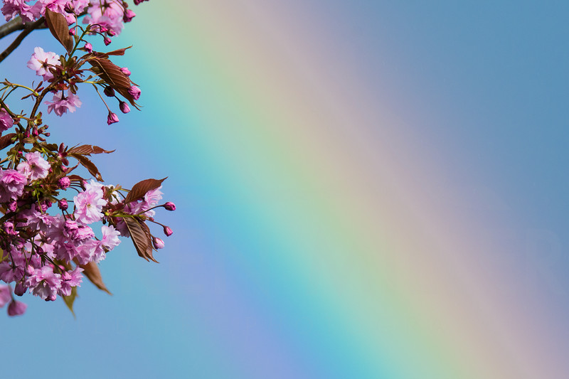 Rainbow through Cherry Blossom