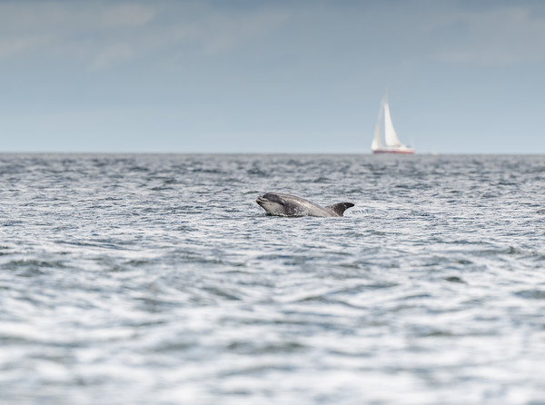 Bottlenose Dolphin, Moray Firth