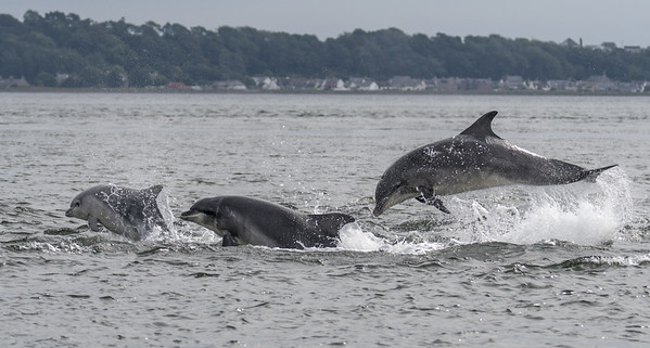 Bottlenose Dolphins, Chanonry Point, August 2017
