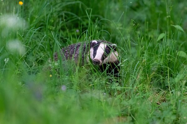 Badger Through Grass