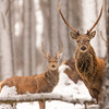 Red deer stags in the snow, Scottish Highlands