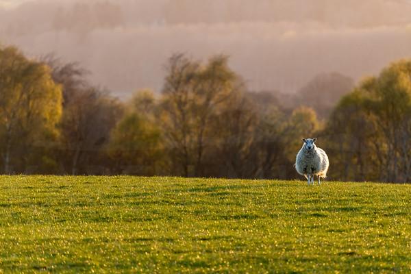 Sheep at dusk