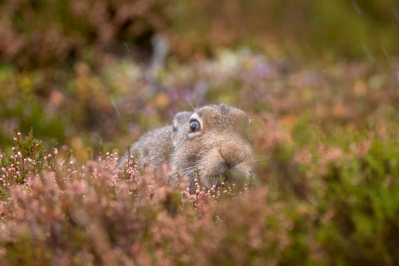 Mountain Hare (Lepus Timidus) grazing on heather