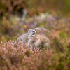 Mountain Hare (Lepus Timidus) grazing on heather