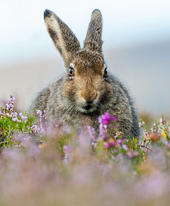 Mountain Hare Leveret in the heather