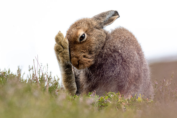 Mountain Hare (Lepus timidus), Scottish Highlands, July 2019.