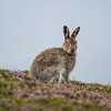 Mountain Hare, Scottish Highlands, July 2018