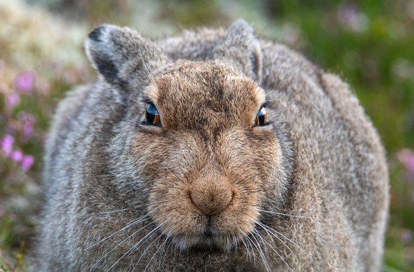 Mountain Hare (Lepus timidus), Scottish Highlands, August 2019.