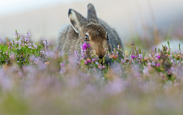 Mountain Hare Leveret in Heather