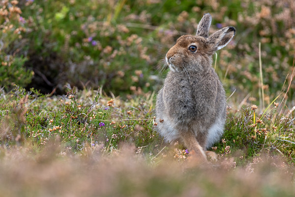 Mountain Hare (Lepus timidus) Leveret, Scottish Highlands, September 2020