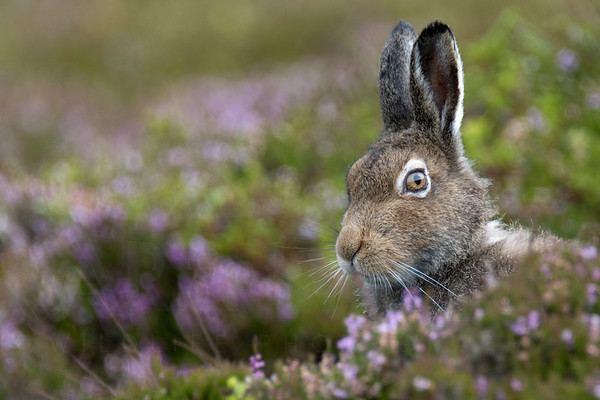 Mountain Hare (Lepus Timidus)