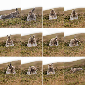 Grooming Mountain Hare