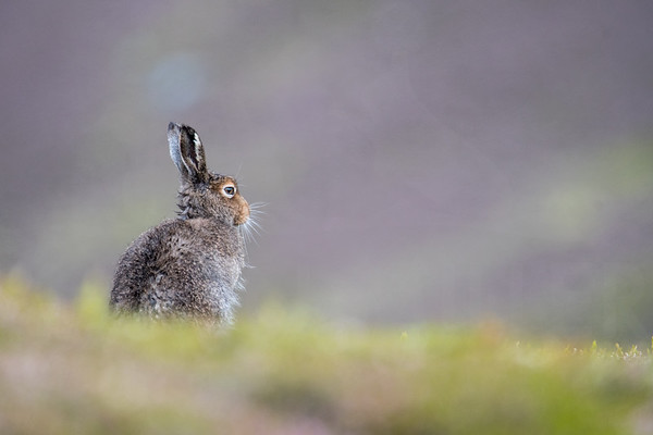 Mountain Hare, Scottish Highlands, July 2018