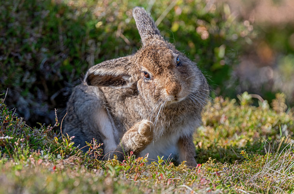 Tiny Tim, Mountain Hare Leveret