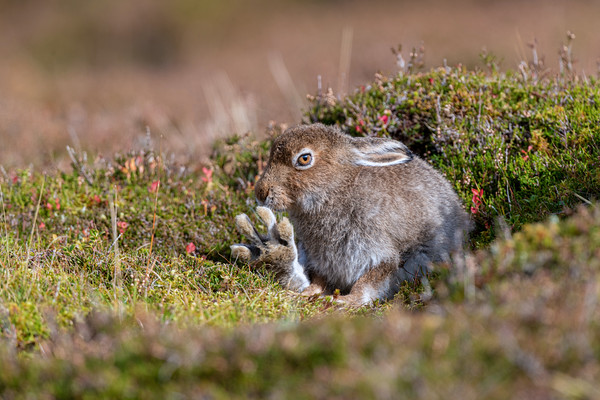 Mountain Hare Leveret Grooming