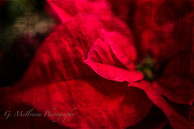 Textured Poinsettia
