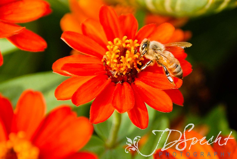 8-25-11<br /> <br /> Playing with Bees again!  I was waiting on a client today and snagged this image!<br /> <br /> Prayers to all my friends and family on the East Coast... stay safe!