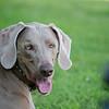 Shelby-dog