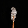 Young barred owl scouting for food