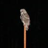 Young barred owl on 8' tall pipe in pasture