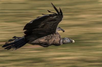 Andean condor (Vultur gryphus) - Non-Wildlife image