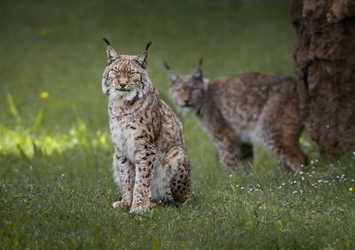 European Lynx (Lynx Lynx)