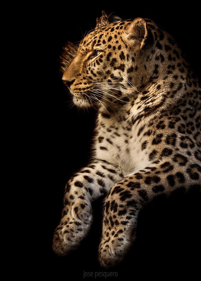 Leopard (Panthera pardus) - Non-Wildlife image