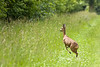 Deer in Kardinge, Groningen