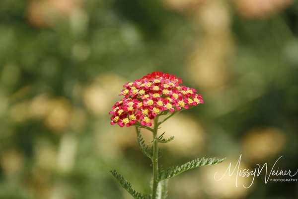 Signal Mountain Flowers_06 25 10_0110