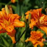 Signal Mountain Flowers_06 25 10_0069