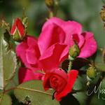 Signal Mountain Flowers_06 25 10_0024