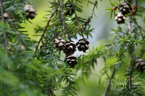 Signal Mountain Flowers_06 25 10_0058