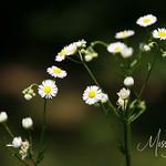 Signal Mountain Flowers_06 25 10_0035