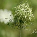 Signal Mountain Flowers_06 25 10_0100