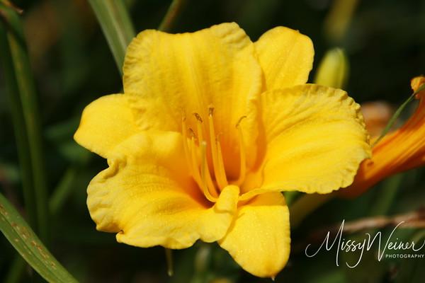 Signal Mountain Flowers_06 25 10_0009