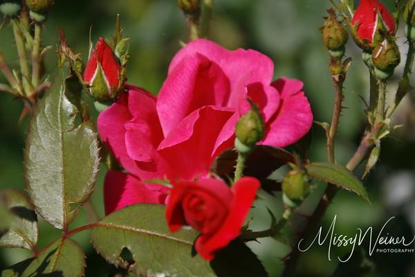 Signal Mountain Flowers_06 25 10_0025