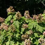 Signal Mountain Flowers_06 25 10_0053