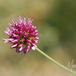 Signal Mountain Flowers_06 25 10_0027
