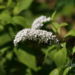 Signal Mountain Flowers_06 25 10_0076