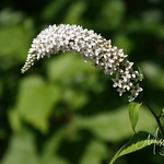 Signal Mountain Flowers_06 25 10_0079