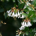 Signal Mountain Flowers_06 25 10_0090
