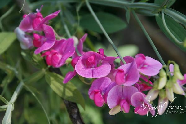 Signal Mountain Flowers_06 25 10_0017