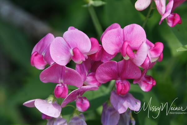 Signal Mountain Flowers_06 25 10_0073