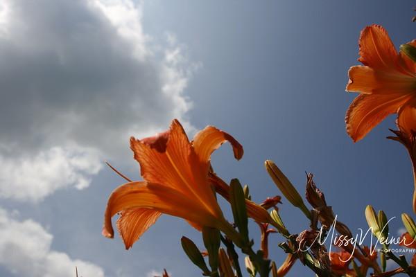 Signal Mountain Flowers_06 25 10_0107