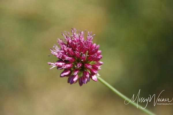 Signal Mountain Flowers_06 25 10_0028