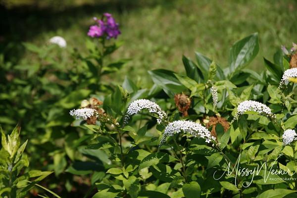 Signal Mountain Flowers_06 25 10_0082