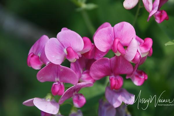 Signal Mountain Flowers_06 25 10_0074