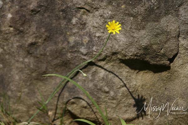 Signal Mountain Flowers_06 25 10_0044